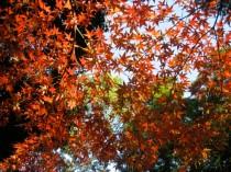 Autumn leaves Photo © @KyotoDailyPhoto