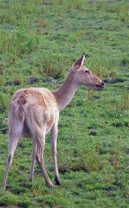 Deer. Photo: © Paul Heatley