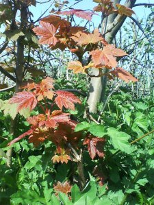 New Sycamore leaves.