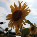 One of the 8 million sunflowers planted to soak up radiation toxins from the soil. Joenji Temple, Fukushima, Japan