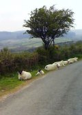 Sheep by side of a road going across Dartmoor. Photo © RSR