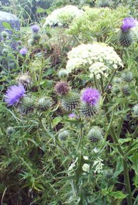 Thistle with Yarrow plant