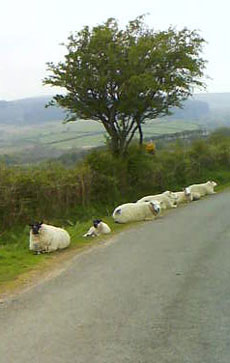 Sheep on roadside Dartmoor, Devon