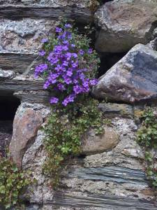 Blue plant growing on a stone wall in Totnes, Devon, England