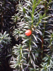 Yew tree berry.