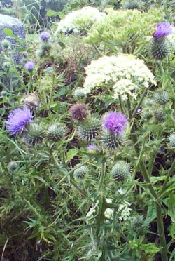 Thistle and yarrow.