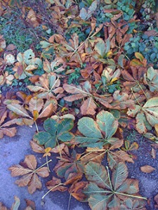 Sycamore leaves