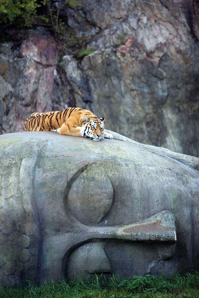Tiger rests on Buddha head