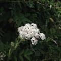 White yarrow. Devon Lane