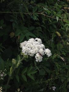 Milenrama blanca.  Devon Lane