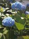 Blue Hydrangea.