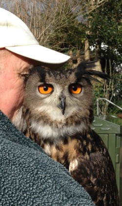 European Eagle Owl from, Totnes Rare Breeds Farm