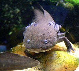 Photo of Ambystoma mexicanum (axolotl) at the Steinhart Aquarium in San Francisco. © Stan Shebs Wikimedia