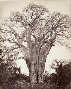 Baobab à Mohéli. Artist:Désiré Charnay (French, 1828–1915) © The Metropolitan Museum of Art