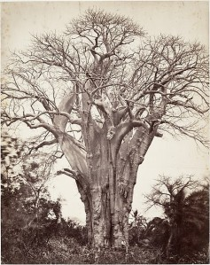 Baobab à Mohéli. Artist:Désiré Charnay (French, 1828–1915) © The Metropolitan Museum of Art