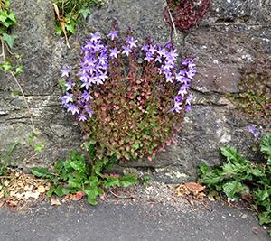 Cascade Aubrieta Purple flowers