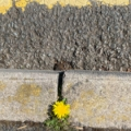 Kerb with dandelion