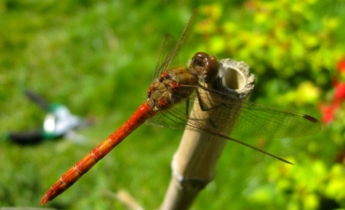Dragonfly Photo © @KyotoDailyPhoto